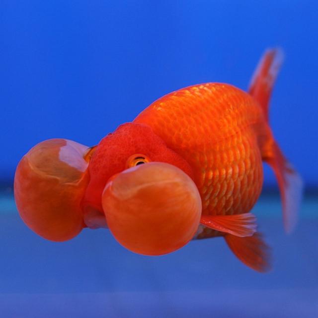 dronken goudvis