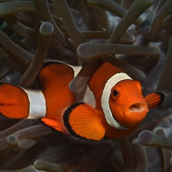 deze clownsvis zou zomaar een parasiet bij zich kunnen dragen