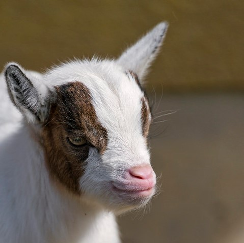Baby geitje