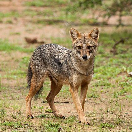 Canis aureus goudjakhals